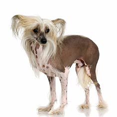 Chinese_Crested_Dog_body