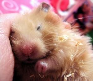 sleeping-hamster