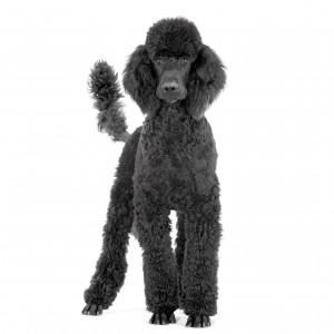 caniche royal noir