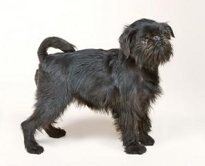 C-401-1 Canis lupus familiaris Griffon Belge