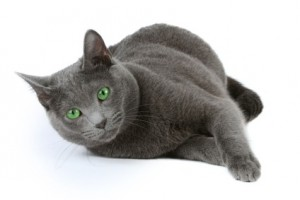 Russian blue cat over white background