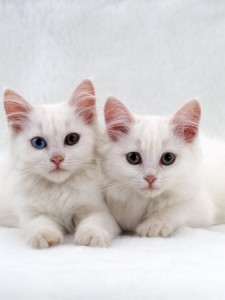 jane-burton-domestic-cat-white-semi-longhair-turkish-angora-kittens-one-with-odd-eyes