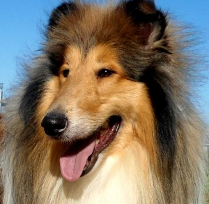 Rough_Collie_head