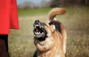 aggressive-german-shepherd-dog-136224589-1