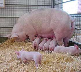 pig-feed-pigs