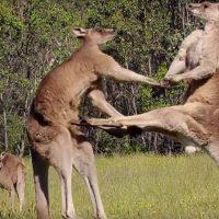 Boxul la canguri
