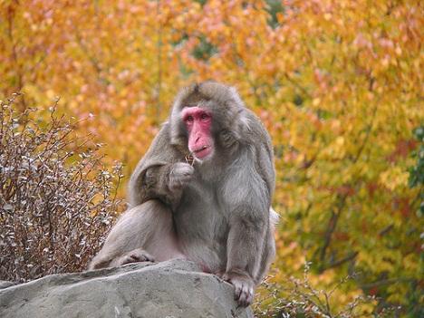 Criza vârstei mijlocii... la primate.