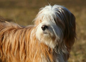 Terrier de  Tibet