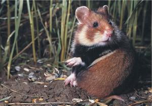 Hamsterul comun