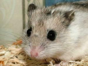 Hamsterul chinezesc