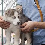 Cele mai intalnite boli la Husky Siberian