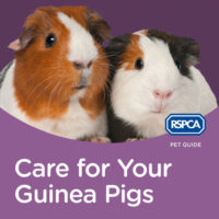 RSPCA Pet Guide: Care For Your Guinea Pigs